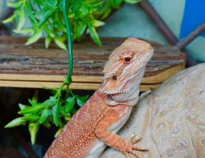 Skittle the Bearded Dragon